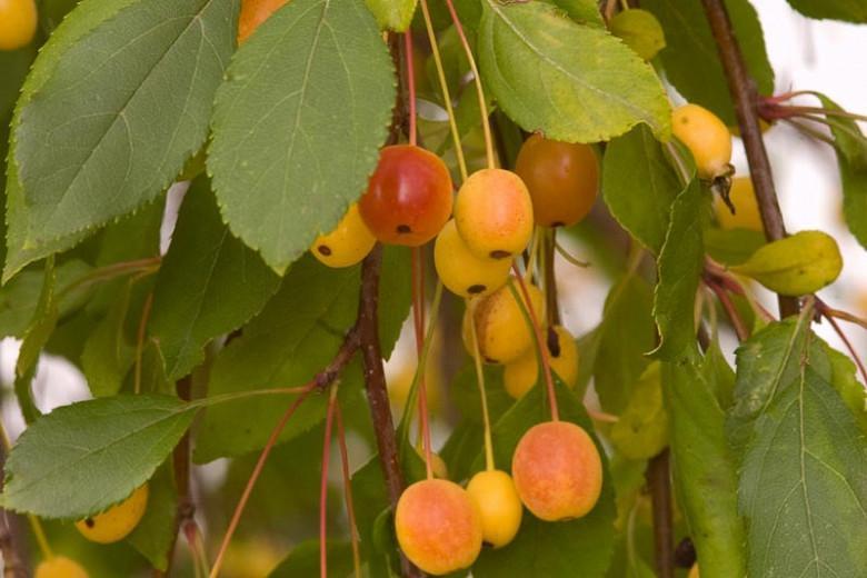 Malus 'Louisa', Crabapple 'Louisa', Crab Apple 'Louisa', Fragrant Tree, Red fruit, red berries, Winter fruits, Pink flowers,