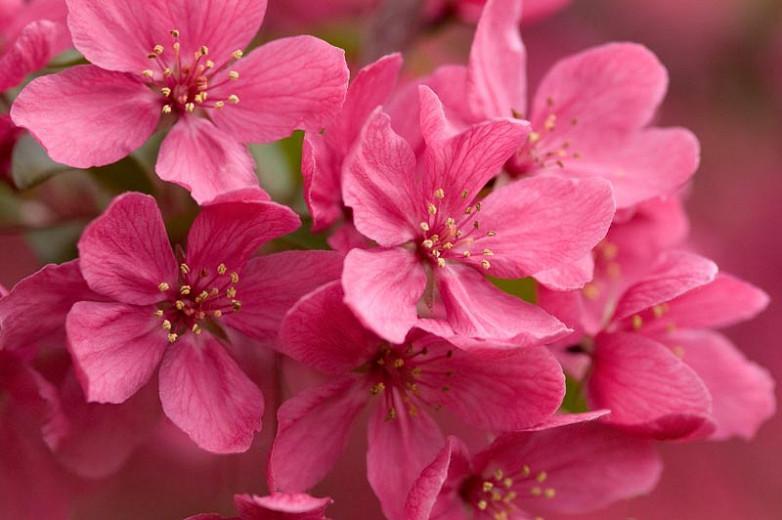Malus 'Prairifire', Crabapple 'Prairifire', Crab Apple 'Prairifire', Fragrant Tree, Red fruit, red berries, Winter fruits, Pink flowers,