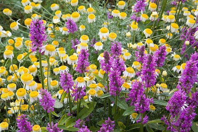 Stachys Officinalis 'Hummelo', Betony 'Hummelo', Wood Betony 'Hummelo', Bishop's Wort 'Hummelo', Stachys Macrantha 'Hummelo', Stachys Monieri 'Hummelo', Stachys Densiflora 'Hummelo', Betonica Officinalis 'Hummelo', Purple flowers, Drought tolerant plants