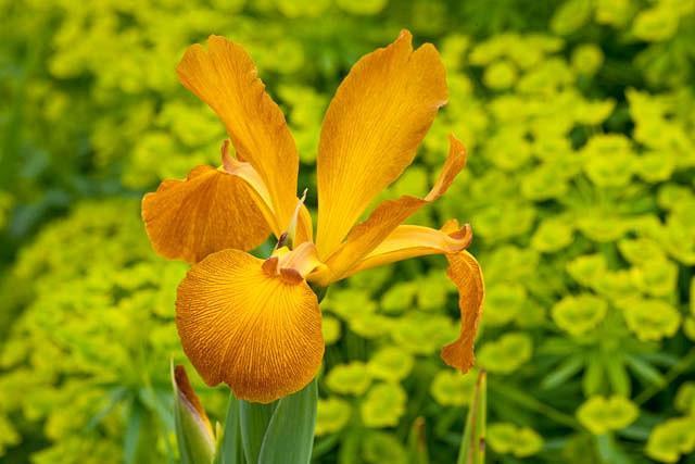 Iris Spuria, Blue Iris 'Sahara Sands', Spurious Iris 'Sahara Sands', Salt Marsh Iris 'Sahara Sands', Butterfly Iris 'Sahara Sands', Yellow Iris, Yellow Flowers