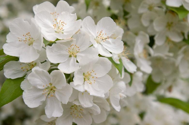 Malus 'Snowdrift', Crabapple 'Snowdrift', Crab Apple 'Snowdrift', Fragrant Tree, Red fruit, red berries, Winter fruits, White flowers,