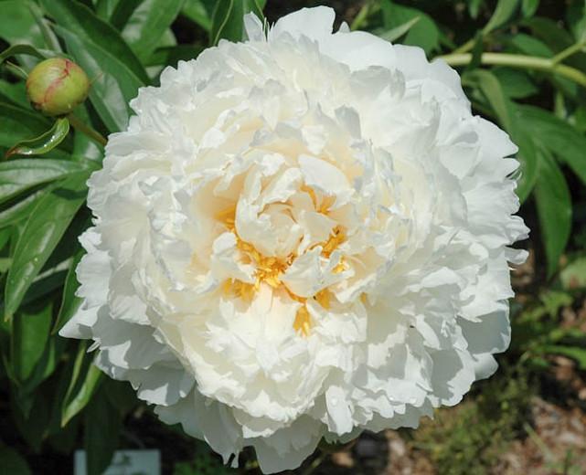 Paeonia Lactiflora Bowl Of Cream Peony