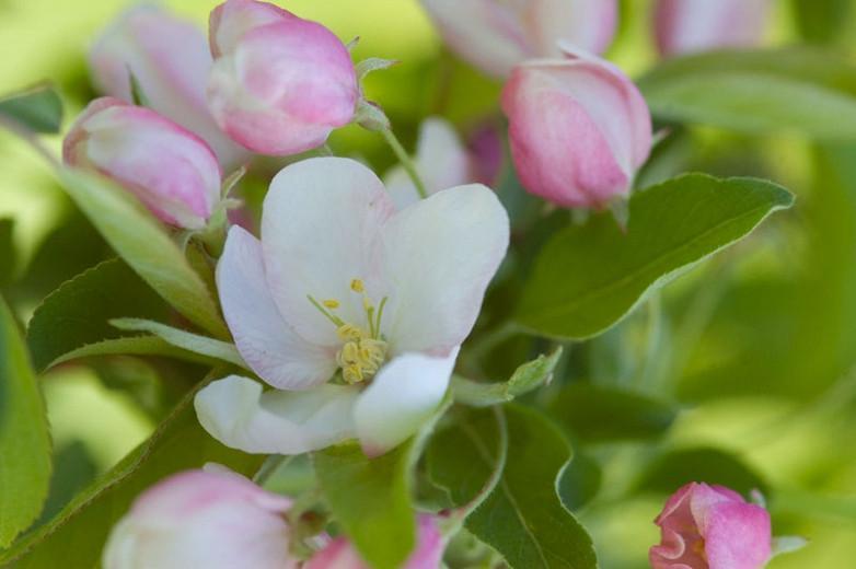 Malus 'Sugar Tyme', Crabapple 'Sugar Tyme', Crab Apple 'Sugar Tyme', Fragrant Tree, Yellow fruit, Yellow berries, Winter fruits, White flowers,