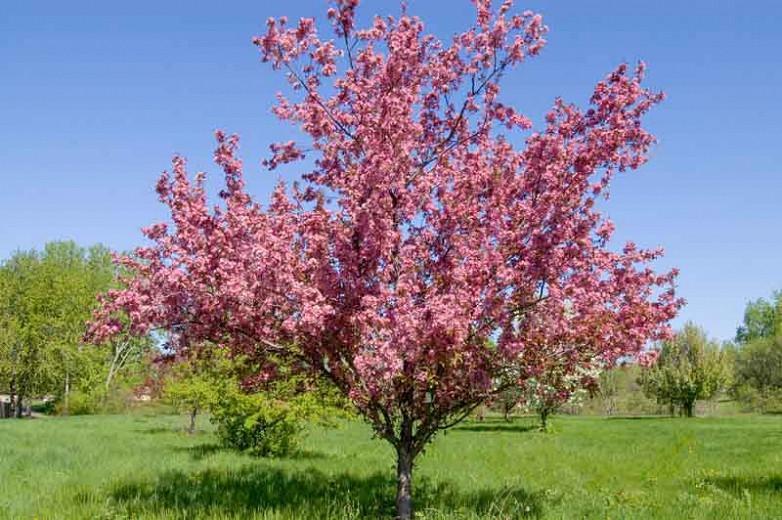 Malus 'Thunderchild', Crabapple 'Thunderchild', Crab Apple 'Thunderchild', Fragrant Tree, Red fruit, red berries, Winter fruits, Pink flowers,