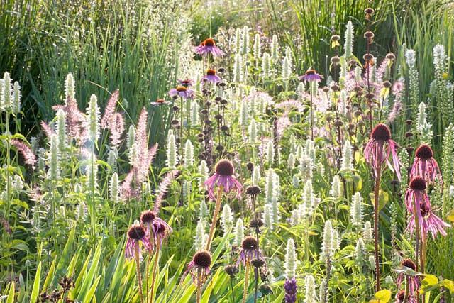 Echinacea Pallida, Pale Purple Coneflower, Rudbeckia Pallida, Brouneria Pallida, Purple Coneflower, Purple Echinacea, Coneflower, Cone flowers, Coneflowers