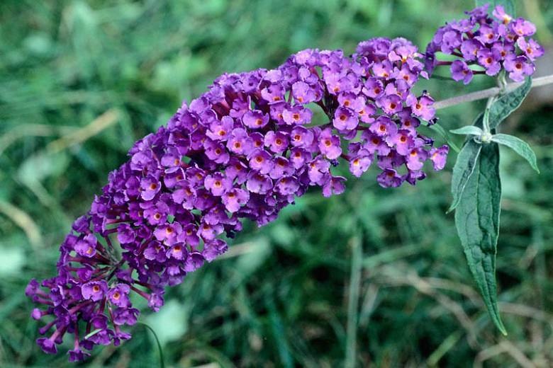 Buddleja Davidii Black Knight Butterfly Bush