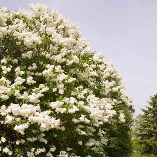 Syringa x hyacinthiflora 'Mount Baker', Syringa 'Mount Baker', Early Flowering Lilac 'Mount Baker', Early Hybrid Lilac 'Mount Baker', White lilac, Fragrant Lilac, White Flowers, Fragrant Shrub, Fragrant Tree