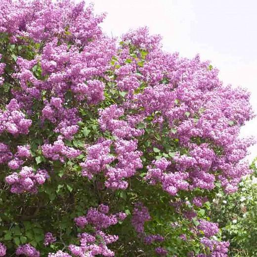 Syringa x hyacinthiflora 'Pocahontas', Syringa 'Pocahontas', Early Flowering Lilac 'Pocahontas', Early Hybrid Lilac 'Pocahontas', Purple lilac, Fragrant Lilac, Purple Flowers, Fragrant Shrub, Fragrant Tree