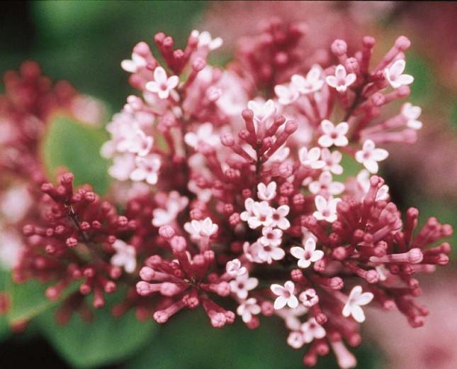 Syringa Tinkerbelle, Lilac Tinkerbelle®, Syringa 'Bailbelle', Pink Lilac, Purple lilac