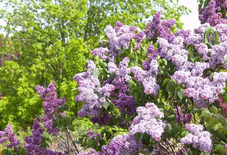 Syringa vulgaris 'Albert F. Holden',Syringa 'Albert F. Holden', Lilac 'Albert F. Holden', Purple lilac, Fragrant Lilac, Purpler Flowers, Fragrant Shrub, Fragrant Tree