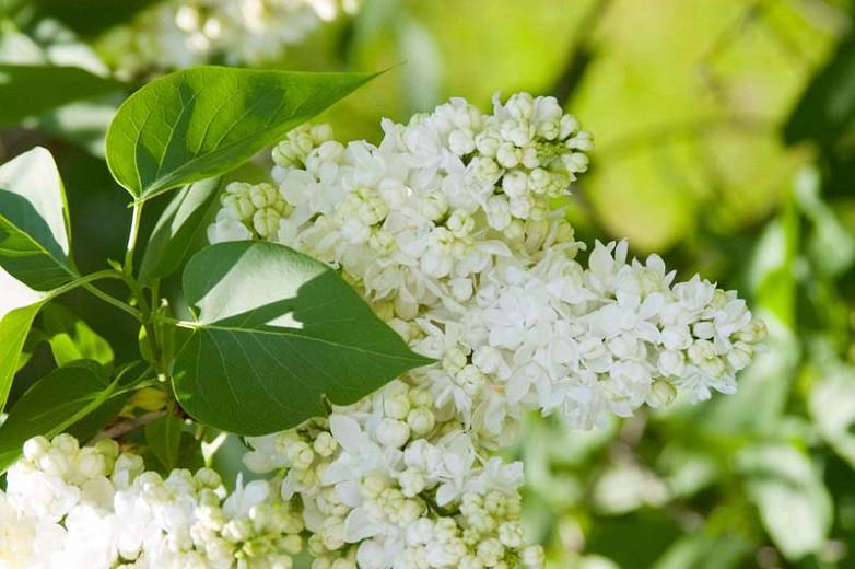 Syringa vulgaris 'Madame Lemoine',Syringa 'Madame Lemoine', Lilac 'Madame Lemoine', White lilac, Fragrant Lilac, White Flowers, Fragrant Shrub, Fragrant Tree