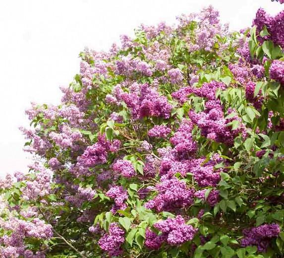 Syringa vulgaris 'Monge',Syringa 'Monge', Lilac 'Monge', Purple lilac, Fragrant Lilac, Purple Flowers, Fragrant Shrub, Fragrant Tree
