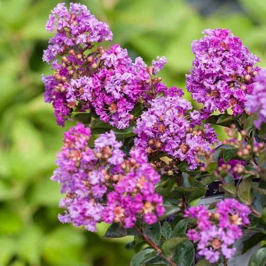 Lagerstroemia 'Purple Magic', Crape Myrtle 'Purple Magic', Crapemyrtle 'Purple Magic', Shrub, Purple Flowers, Purple Crape Myrtle