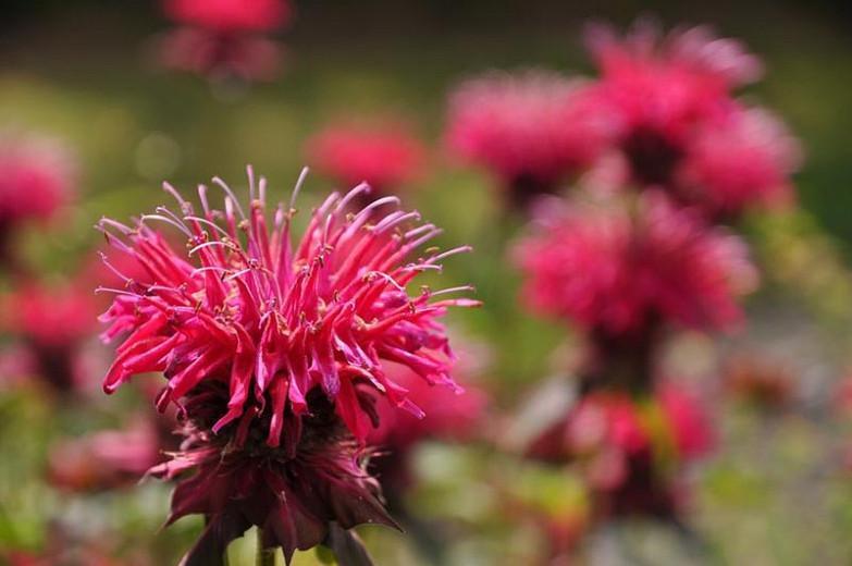 Monarda 'Kardinal',Bee balm 'Kardinal', Bergamot 'Kardinal', purple Monarda, purple bee balm, purple flowers