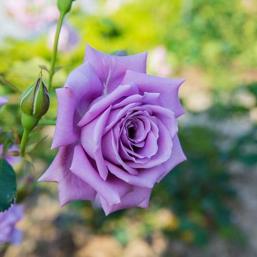 Rosa 'Blue Moon', Rose 'Blue Moon', Rosa 'Blue Monday', Rosa 'Mainzer Fastnacht', Rosa 'Mainzer Rad', Rosa 'Navo-Rose', Rosa 'Sissi', Rosa 'Sissy', Rosa 'TANnacht', Rosa 'TANsi', Hybrid Tea Roses, Shrub Roses, Lavender Rose
