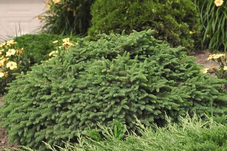 Picea abies 'Pumila', Norway Spruce 'Pumila', Pumila Norway Spruce, Dwarf Norway Spruce, Evergreen Conifer, Evergreen Shrub, Evergreen Tree