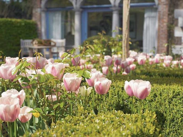 Tulipa Ollioules, Tulip 'Ollioules', Darwin Hybrid Tulip 'Ollioules', Darwin Hybrid Tulips, Spring Bulbs, Spring Flowers, Tulipe Ollioules,Darwin Tulip, pink Tulip, Tulipe Darwin