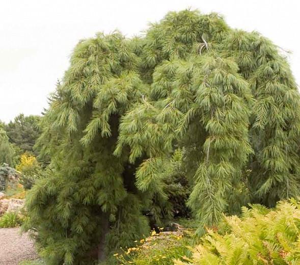 Pinus strobus 'Pendula', Eastern White Pine 'Pendula', Weymouth Pine 'Pendula', North American Pumpkin Pine 'Pendula', North American White Pine 'Pendula', White Pine 'Pendula', Evergreen Tree, Evergreen Shrub, Conifer