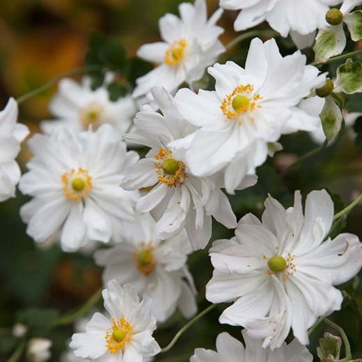 Anemone x Hybrida 'Whirlwind', Japanese Anemone Whirlwind', Windflower 'Whirlwind', Late summer perennial, white flowers