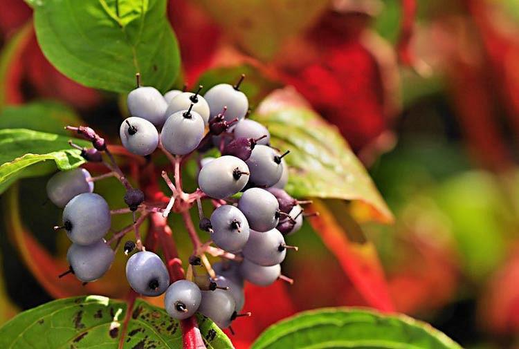 Cornus Alba, Tatarian Dogwood, Red-Barked Dogwood, White Dogwood, Siberian Dogwood, Deciduous Shrubs, Foliage, Fall color, Winter color, shrub with berries
