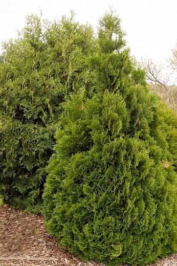Thuja Occidentalis 'Holmstrup', Holmstrup Arborvitae, White Cedar 'Holmstrup', Northern White Cedar 'Holmstrup', Swamp Cedar 'Holmstrup'