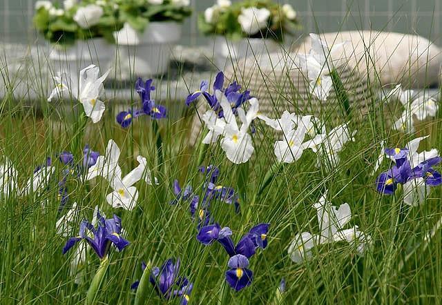 Iris Hollandica, Dutch Iris, Late spring blooms, Early summer blooms, Iris Casablanca, White Iris, White dutch iris