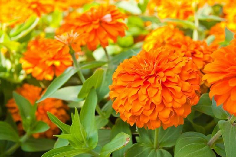Zinnia 'Benary's Giant Orange', Zinnia Elegans 'Benary's Giant Orange', Benary's Giant series, Orange Zinnia, Orange Double Zinnia, Tall Zinnia