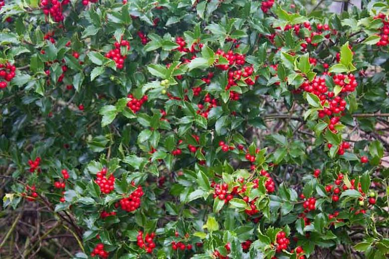 Ilex x Meserveae 'Blue Princess', Blue Holly 'Blue Princess', red berries, evergreen shrub, Aquifoliaceae, Berry, holly, Ilex, winter shrub