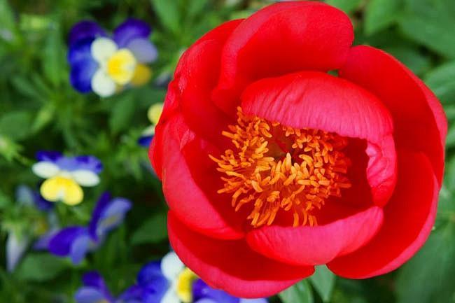 Paeonia 'Scarlett O'Hara', Peony 'Scarlett O'Hara', 'Scarlett O'Hara' Peony, Red Peonies, Red Flowers, Fragrant Peonies