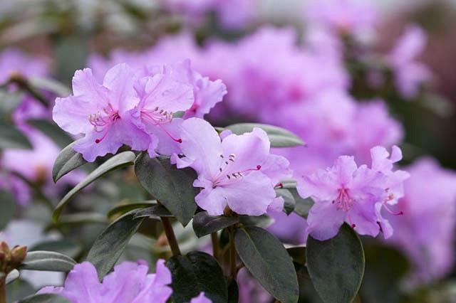 Frühlingsrhododendron Praecox 40-50cm