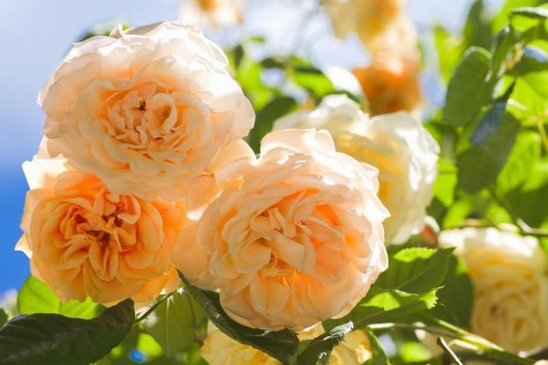 Rosa Buff Beauty, Rose Buff Beauty, Hybrid musk Buff Beauty, agm roses, Fragrant roses., Shrub roses, yellow roses, Climbing Roses