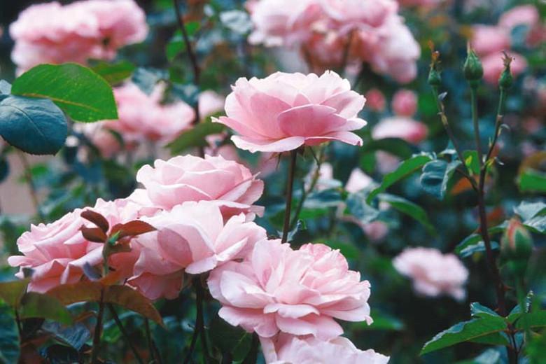 Rosa 'Queen Elizabeth', Rose 'Queen Elizabeth', Rosa 'Queen of England', Rosa ' The Queen Elizabeth Rose', Grandiflora Roses, Shrub Roses, Purple roses, Pink flowers, Shrub roses, Rose bush