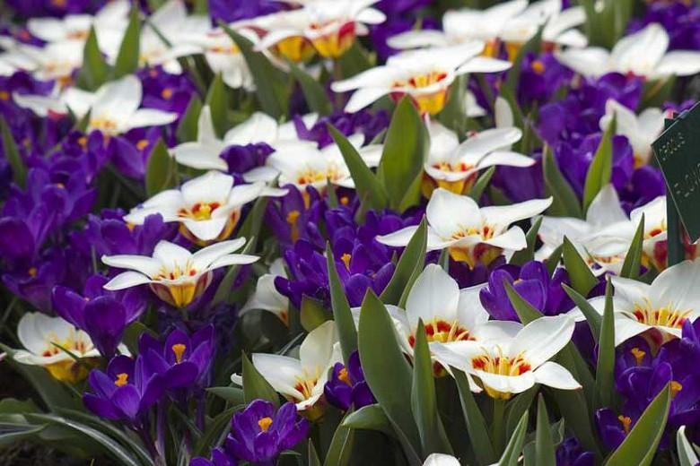 Tulipa Ancilla,Tulipe Ancilla, Tulip 'Ancilla', Kaufmanniana Tulip 'Ancilla', Waterlily Tulip 'Ancilla', Kaufmanniana Tulips, Spring Bulbs, Spring Flowers, Cream Tulip, Bicolored Tulip, Red Tulip