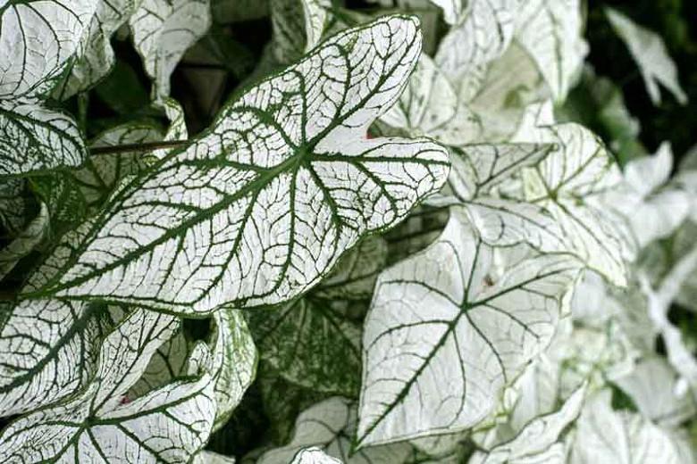 Caladium 'White Christmas', Angel Wings 'White Christmas', White Christmas Caladium, Shade Plant, White leaves, White Foliage,Fancy Caladium, Fancy-Leafed Caladium