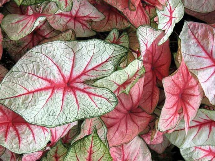 Caladium 'White Queen', Angel Wings 'White Queen', White Queen Caladium, Shade Plant, Pink leaves, Pink Foliage,Fancy Caladium, Fancy-Leafed Caladium