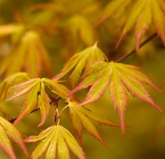 Acer palmatum 'Orange Dream', Japanese Maple 'Orange Dream', Tree with fall color, Fall color, Attractive bark Tree, Orange leaves, Orange Acer, Orange Japanese Maple
