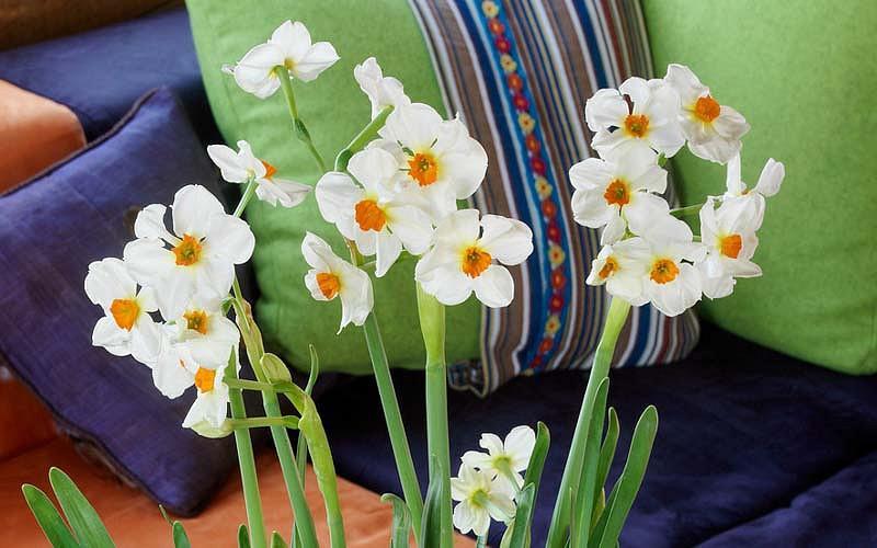 Narcissus Cragford, Daffodil Cragford, Tazetta Daffodil Cragford', Spring Bulbs, Spring Flowers,Tazetta daffodils, Tazetta Narcissus, mid spring bulb, late spring bulb, mid season narcissus, late season narcissus, fragrant daffodil