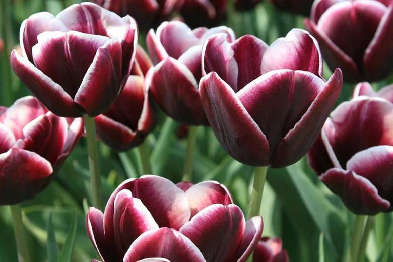 Tulipa Arabian Mystery, Tulip 'Arabian Mystery', Triumph Tulip 'Arabian Mystery', Triumph Tulips, Spring Bulbs, Spring Flowers, Tulipe Arabian Mystery, Triumph Tulip, Mid Season Tulip, Late Season Tulip, purple Tulip, bicolored Tulip