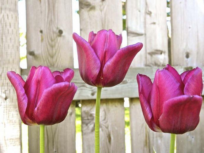 Tulipa Passionale,Tulip 'Passionale', Triumph Tulip 'Passionale', Triumph Tulips, Spring Bulbs, Spring Flowers, Tulipe Passionale, Purple Tulips, Tulipes Triomphe