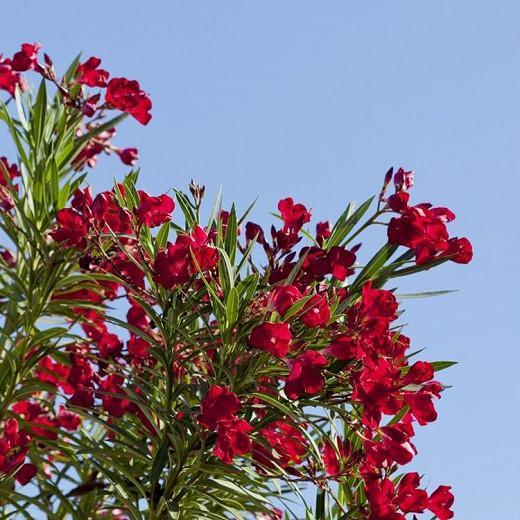 Nerium Oleander 'Hardy Red', Oleander 'Hardy Red', Laurier Rose Hardy Red, Rose Bay Hardy Red, red Oleander, Hardy Oleander, Mediterranean plants, Mediterranean shrubs, Evergreen Shrubs