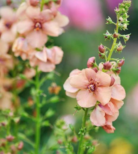 Verbascum 'Jackie', 'Jackie' Mullein, Verbascum 'Jacky', cream flowers, Orange flowers, Yellow flowers, Architectural plants, Vertical Plants, Deer Tolerant perennials,