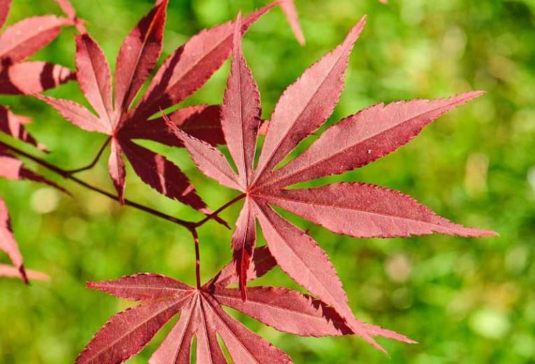 Acer palmatum 'Atropurpureum', Japanese Maple 'Atropurpureum', Acer palmatum 'Blood Leaf', Tree with fall color, Fall color, Attractive bark Tree, purple leaves, Purple Acer, Purple Japanese Maple, Purple Maple,