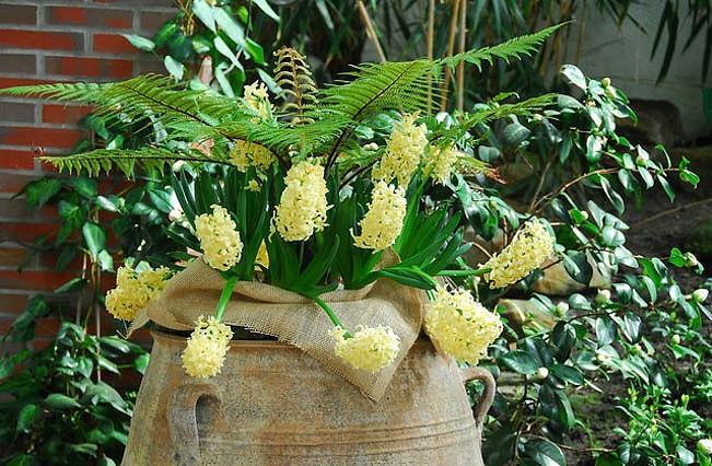 Hyacinth City of Haarlem, Hyacinth 'City of Haarlem', Dutch Hyacinth, Hyacinthus Orientalis, Common Hyacinth, Spring Bulbs, Spring Flowers, yellow hyacinth, yellow flower