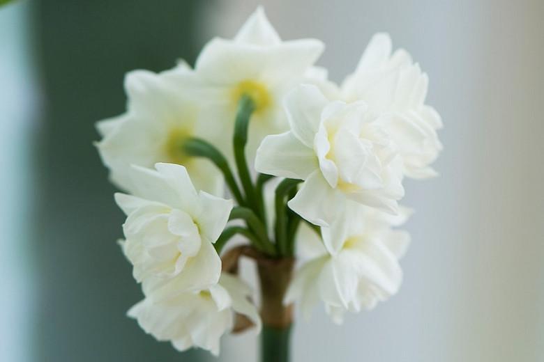 Daffodil 'Erlicheer', Double Daffodil 'Erlicheer', Double Narcissus 'Erlicheer', Daffodil 'Early Cheer', Double Daffodil 'Early Cheer', Double Narcissus 'Early Cheer', Spring Bulbs, Spring Flowers, Narcisse Erlicheer, Double narcissus