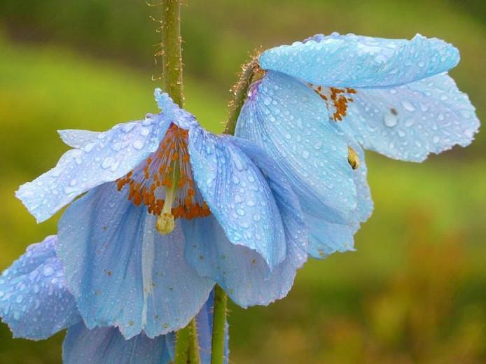 Meconopsis Baileyi, Himalayan Blue Poppy, Meconopsis betonicifolia, blue flower