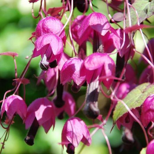 Rhodochiton atrosanguineus, Purple Bell Vine, Rhodochiton volubile, Maurandia atrosanguineum, Lophospermum atrosanguineum, Rhodochiton atrosanguineum, Purple flowers