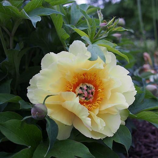 Paeonia Garden Treasure Itoh Peony