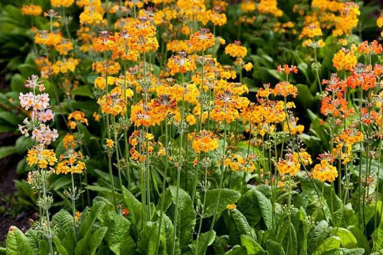 Primula Bulleyana, Primrose, Candelabra Primrose, Candelabra Primula, Bulley's Primrose, Shade plants, shade perennial, plants for shade, plants for wet soils