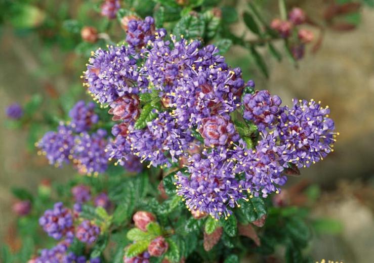 Ceanothus arboreus 'Trewithen Blue', California Lilac 'Trewithen Blue', Blue Flowers, Fragrant Shrubs, Evergreen Shrubs