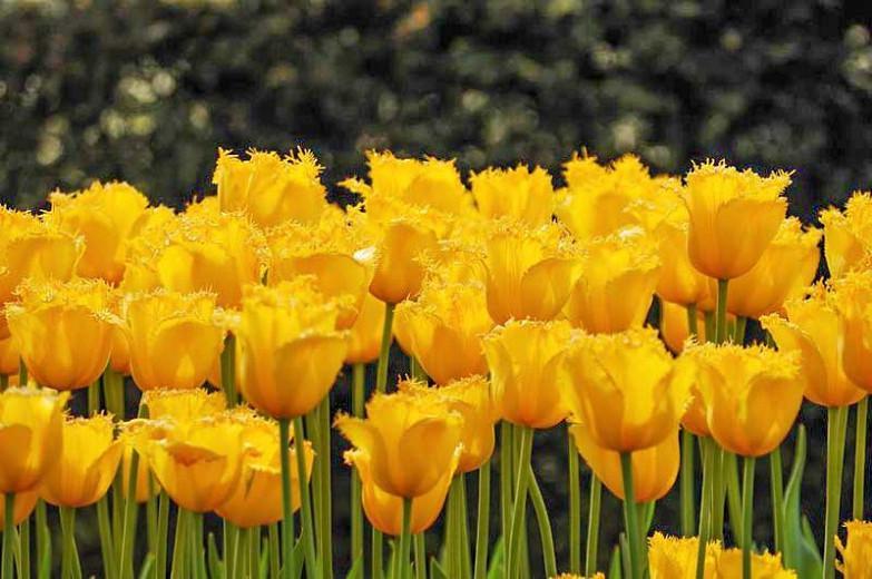 Tulipa Hamilton, Tulip 'Hamilton', Fringed Tulip 'Hamilton', Fringed Tulips, Spring Bulbs, Spring Flowers, Tulipe Hamilton,Yellow Tulips, Tulipes Dentelles